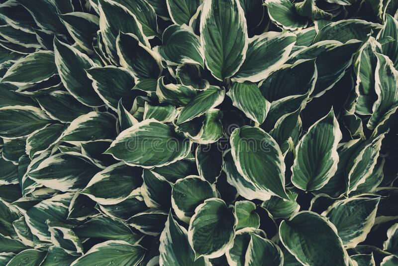 Vista desde arriba sobre hojas Hosta imágenes de archivo libres de regalías