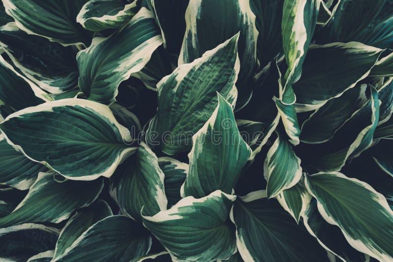 Vista desde arriba sobre hojas Hosta imagenes de archivo
