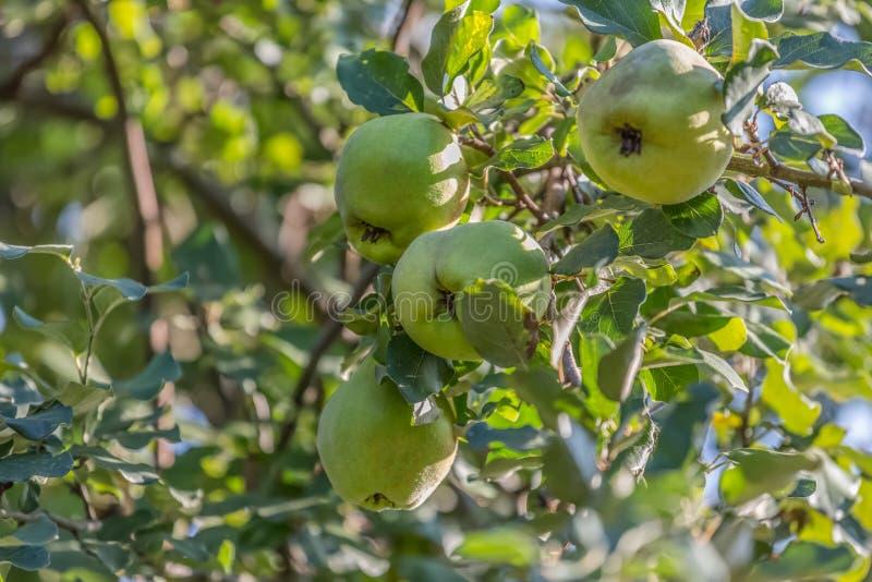 Vista detalhada de frutos do marmelo na árvore, fruto típico da região fotografia de stock royalty free
