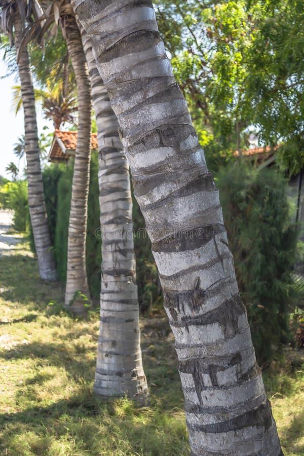Vista detalhada de troncos de palmeiras na perspectiva, na ilha de Mussulo, Luanda, Angola imagens de stock royalty free