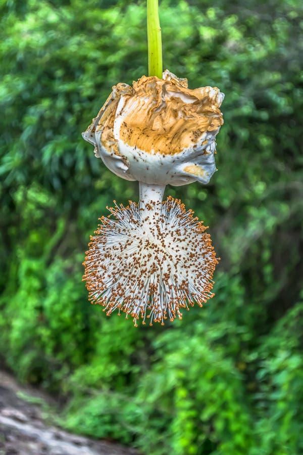 Vista detalhada de uma flor do baobab fotos de stock royalty free