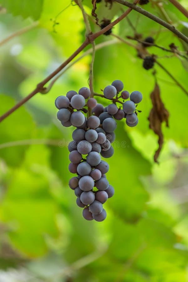 Vista detalhada do conjunto da uva imagem de stock