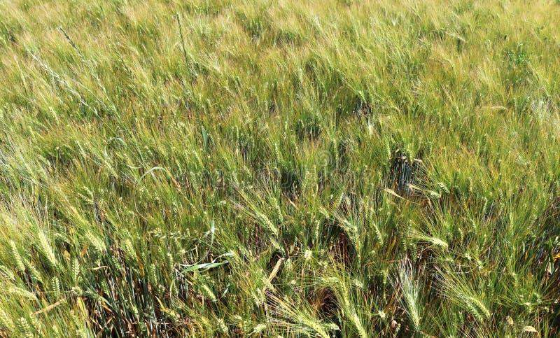 Vista detalhada em campos agrícolas verdes da colheita em um dia de verão imagens de stock royalty free