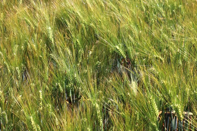 Vista detalhada em campos agrícolas verdes da colheita em um dia de verão fotografia de stock royalty free