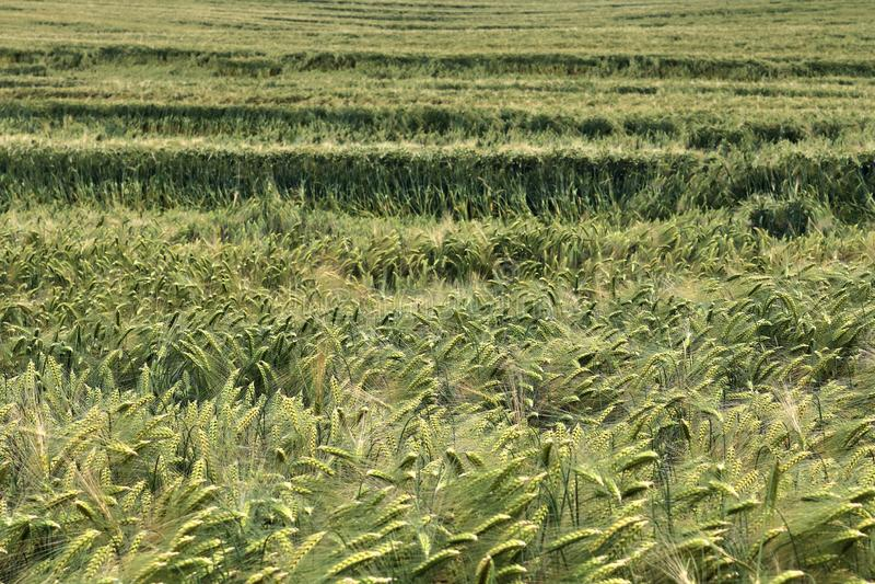 Vista detalhada em campos agrícolas verdes da colheita em um dia de verão fotos de stock royalty free