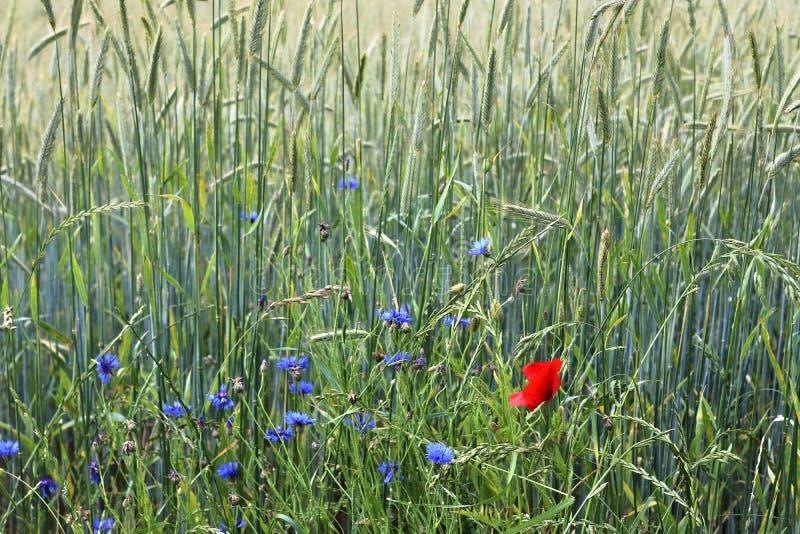 Vista detalhada em campos agrícolas verdes da colheita em um dia de verão foto de stock royalty free