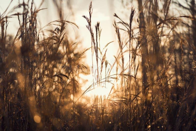 Vista di alba attraverso le erbe immagine stock