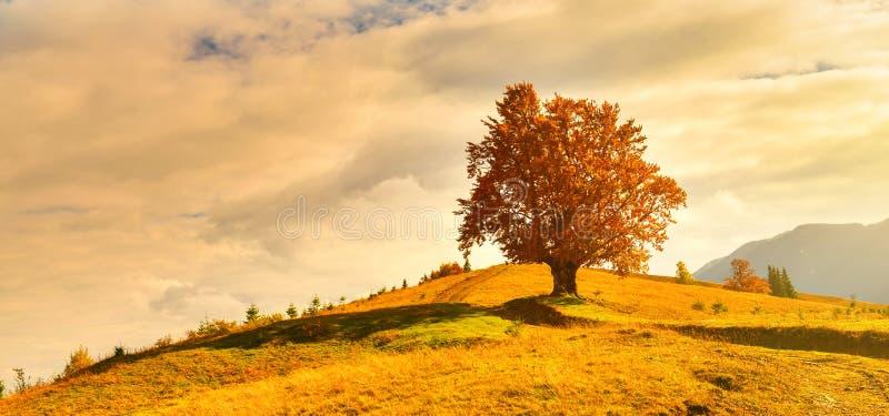 Vista di alto, vecchio, faggio potente in altopiano di autunno fotografia stock libera da diritti