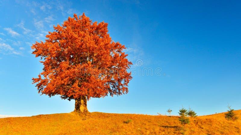 Vista di alto, vecchio, faggio potente in altopiano di autunno fotografia stock