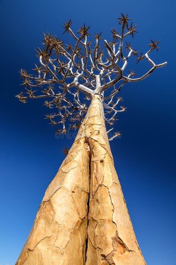 Vista di angolo basso di bello dichotoma dell'aloe dell'albero del fremito nel parco naturale del canyon del fiume del pesce in N fotografia stock libera da diritti