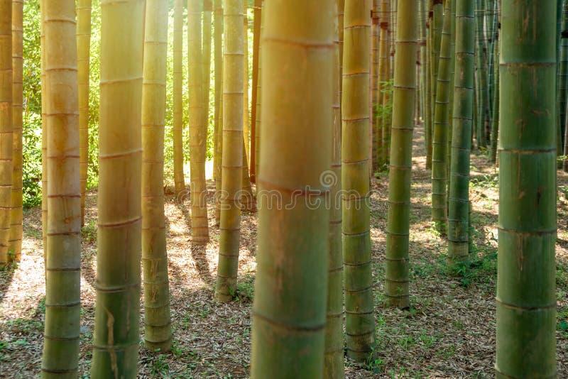 Vista di bambù del fondo degli alberi forestali Priorit? bassa di bamb? della foresta Alberi più forrest di bambù immagini stock libere da diritti
