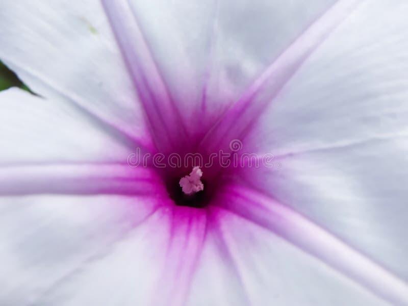Vista di chiusura del fiore di colore viola bianco fiori stigma immagini stock