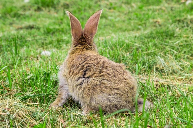 Vista di coniglio da dietro fotografia stock