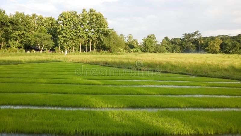 Vista di giovane germoglio del riso pronto alla crescita nel giacimento del riso immagini stock