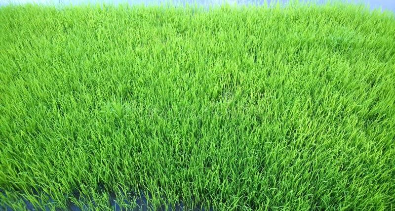 Vista di giovane germoglio del riso pronto alla crescita nel giacimento del riso fotografie stock