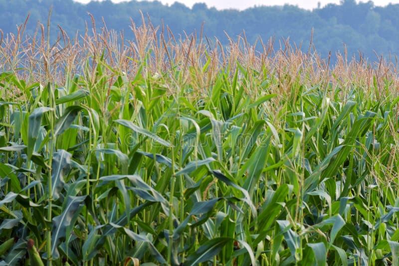 Vista di immagine di paesaggio del campo della piantagione del cereale fotografia stock