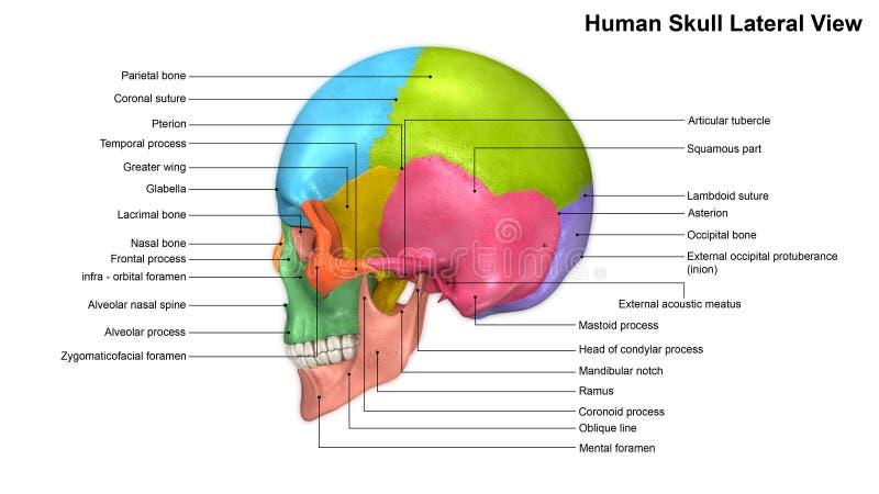 Vista di laterale del cranio illustrazione di stock