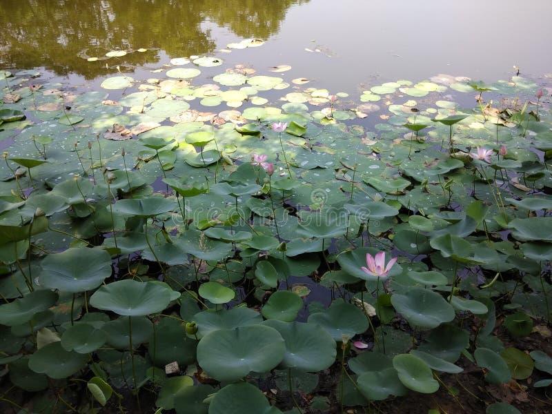 Vista di Lotus fotografie stock