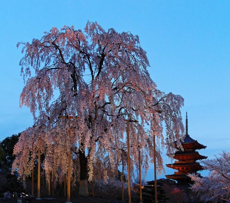 Vista di notte della pagoda famosa di Cinque-storia del tempio di Toji e dei fiori di un albero gigante di sakura a Kyoto Giappon fotografia stock libera da diritti