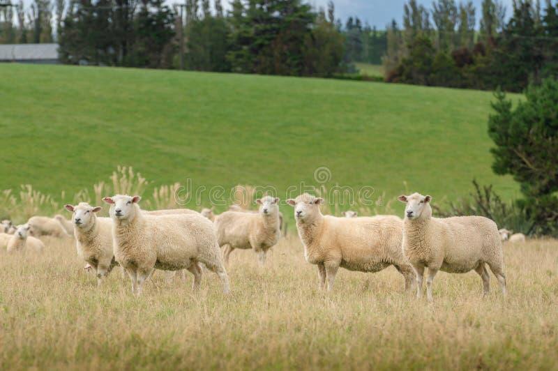 Vista di pascolo delle pecore su un prato, isola del sud Nuova Zelanda immagini stock libere da diritti