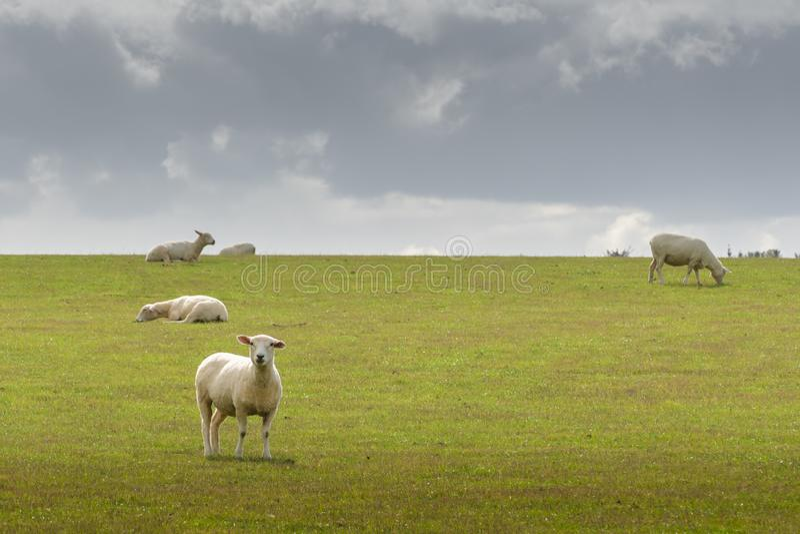 Vista di pascolo delle pecore su un prato, isola del sud Nuova Zelanda fotografia stock