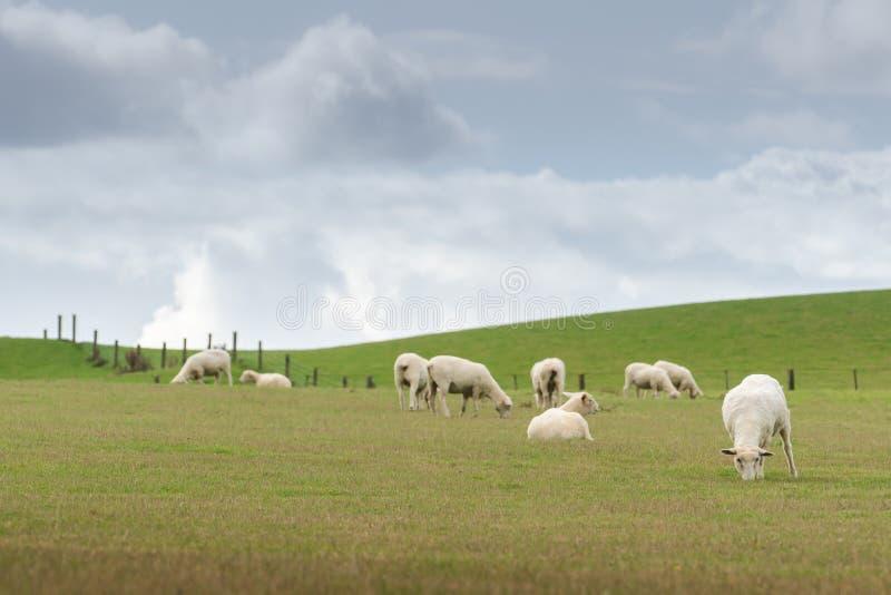 Vista di pascolo delle pecore su un prato, isola del sud Nuova Zelanda fotografie stock libere da diritti