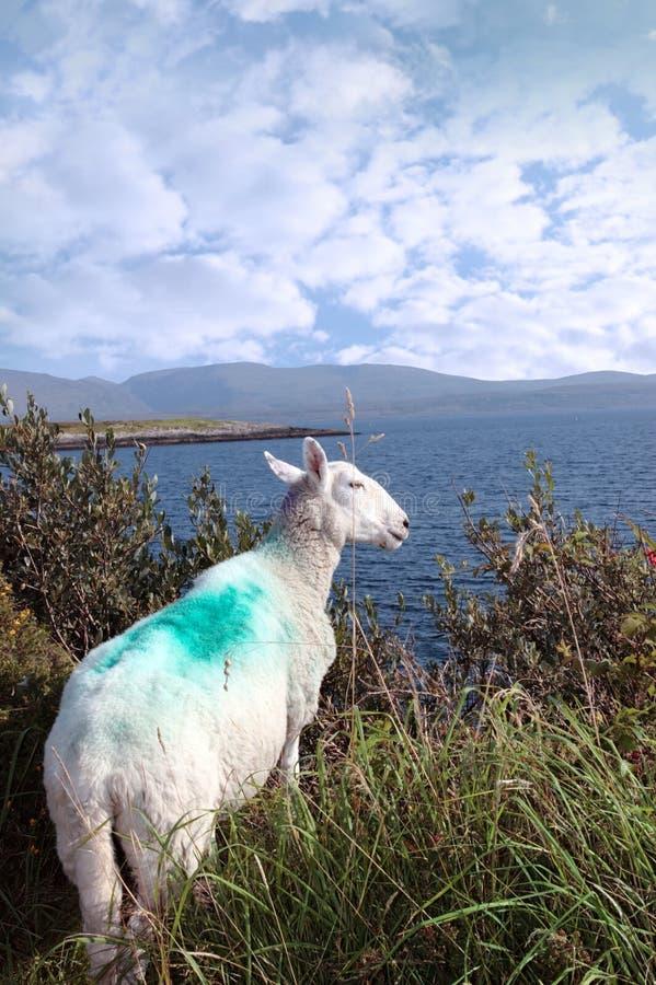 Vista di Sheeps di Atlantico e delle montagne dell'Irlanda fotografie stock libere da diritti