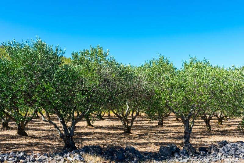 Vista di un frutteto o di un boschetto verde oliva sull'isola di forza in Croazia immagine stock libera da diritti