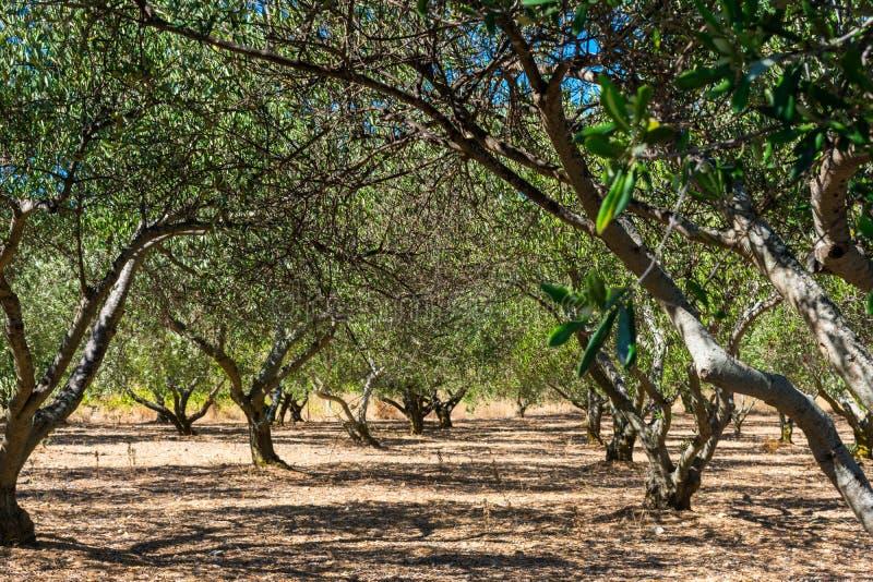 Vista di un frutteto o di un boschetto verde oliva sull'isola di forza in Croazia immagine stock