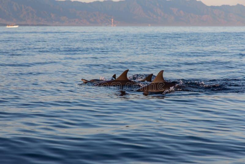 Vista di un gruppo di delfini selvaggi che nuotano in spiaggia di Lovina, Bali fotografia stock libera da diritti