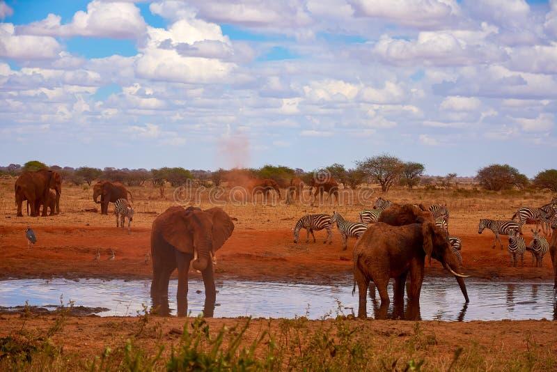 Vista di una famiglia degli elefanti e delle zebre Stagno nel parco nazionale di Tsavo nel Kenya, Africa Cielo blu e sabbia rossa immagine stock