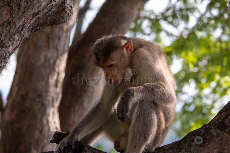 Vista di una scimmia sopra un ramo di alberi lungo il tragitto verso Yercaud nel distretto di Salem, Tamil Nadu, India fotografia stock libera da diritti