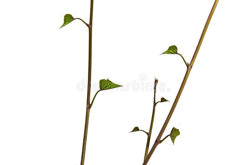 Vista di Verticle di giovani gambi e foglie verdi fotografie stock libere da diritti