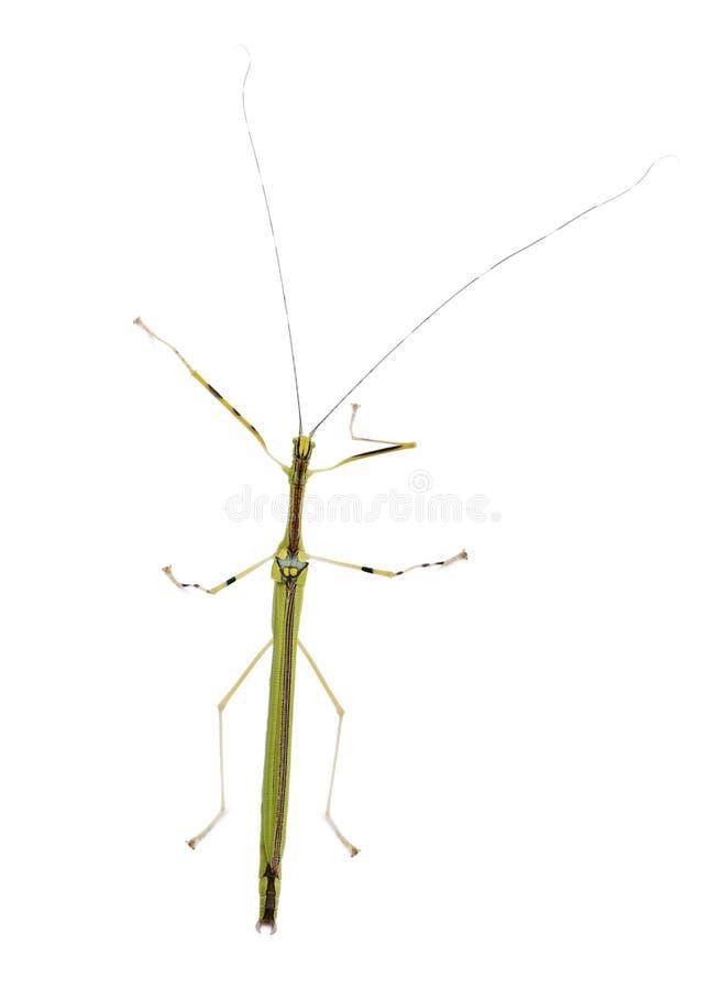 Vista dianteira de Phasma, inseto de vara, foto de stock royalty free