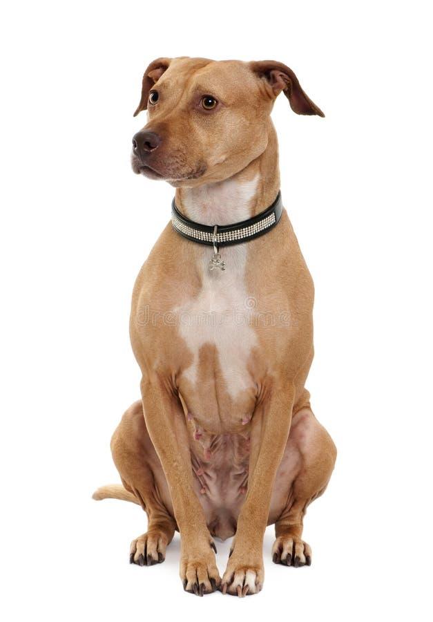 Vista dianteira do terrier americano do pitbull, sentando-se fotografia de stock