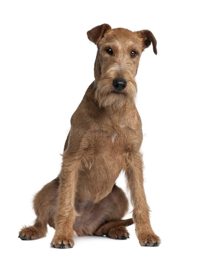 Vista dianteira do terrier irlandês, sentando-se fotos de stock