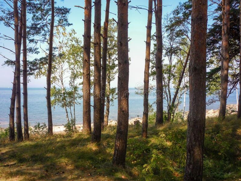 Vista do golfo de Riga através da floresta do pinho imagem de stock
