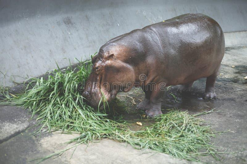 Vista do jardim zoológico de Dusit do hipopótamo, imagens de stock royalty free