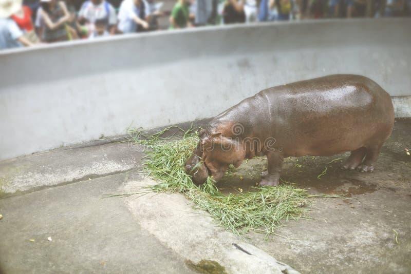 Vista do jardim zoológico de Dusit do hipopótamo, foto de stock
