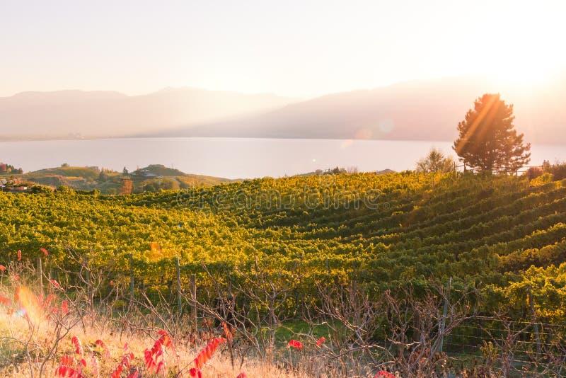 Vista do vinhedo que incandesce no sol de ajuste com lago e nas montanhas no fundo foto de stock