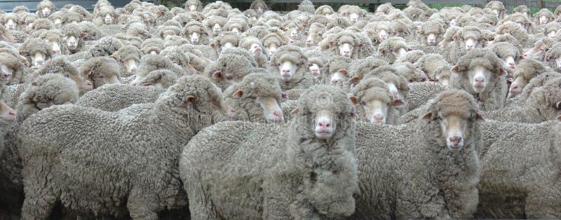 Vista dos carneiros imagens de stock royalty free