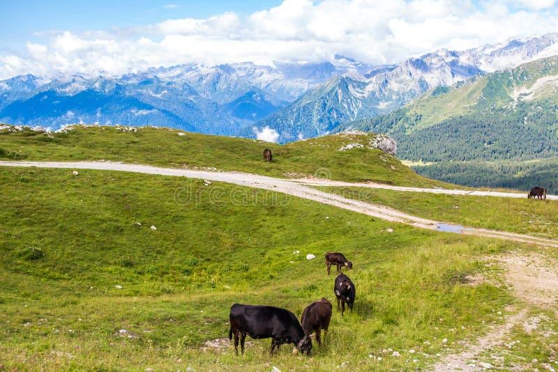 Vista dos cumes com um rebanho do gado fotos de stock