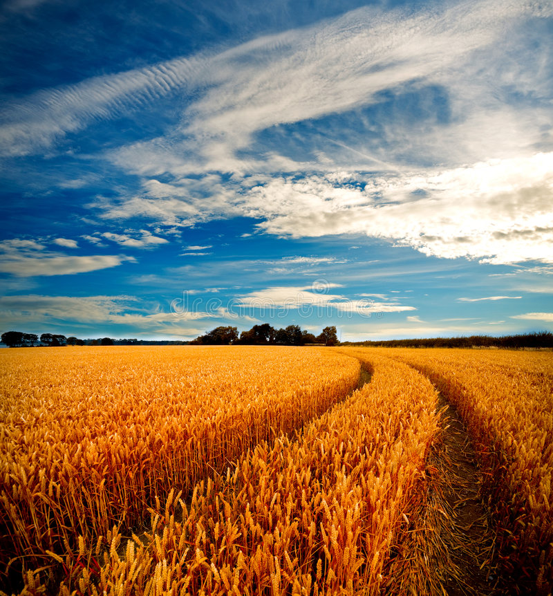 Vista drammatica dei wheatfields fotografie stock libere da diritti