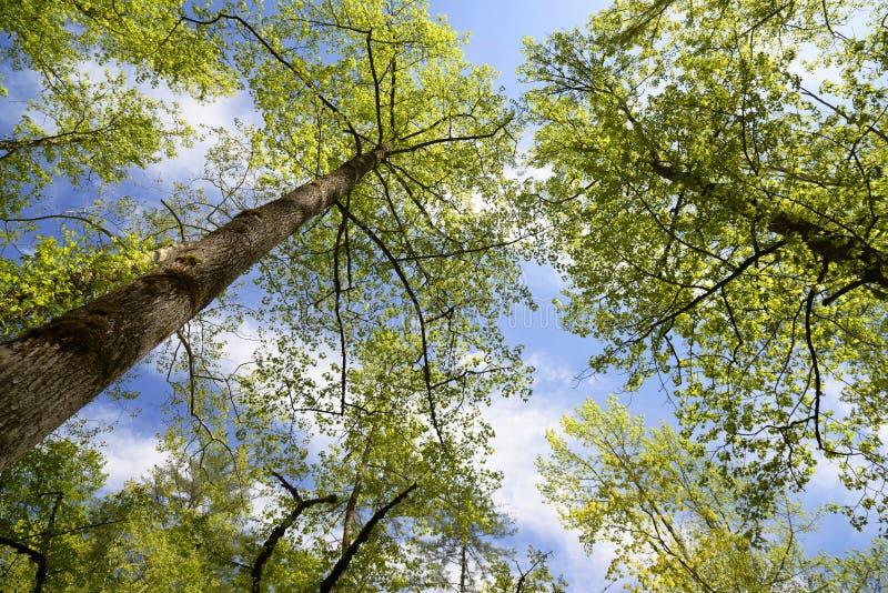 Vista em direção ao céu através das árvores fotos de stock