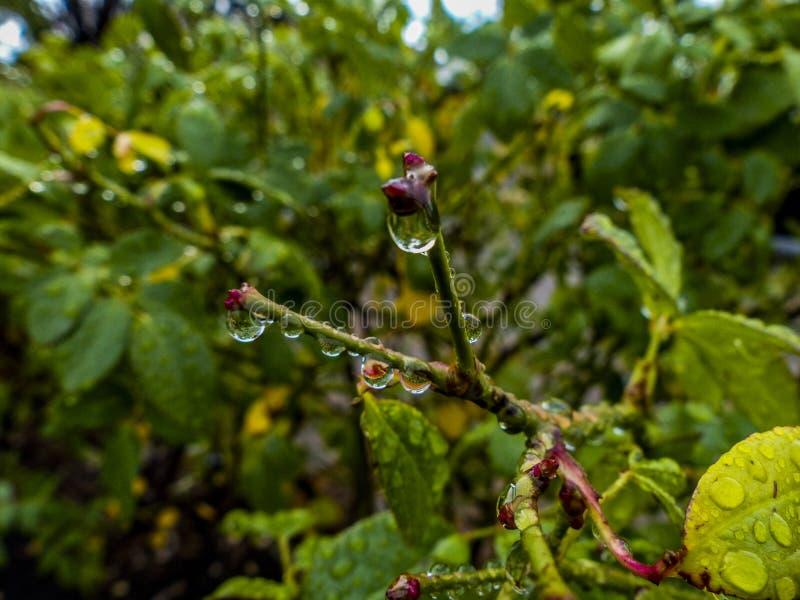 Vista em linha reta na extremidade da haste de um rosebush após a chuva imagem de stock