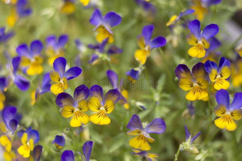 Vista em um campo de violetas de florescência e de florescência, mostrando a beleza da natureza imagem de stock