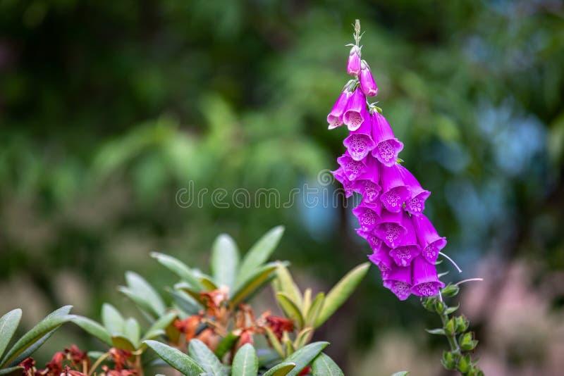 Vista em uma flor da digital fotos de stock