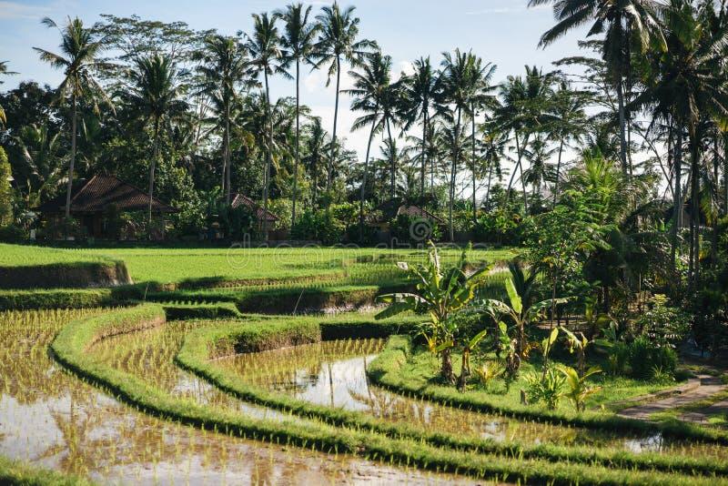 Vista escénica de las terrazas del arroz de Tegallalang, de las palmeras y del fondo del cielo nublado, ubud, foto de archivo libre de regalías