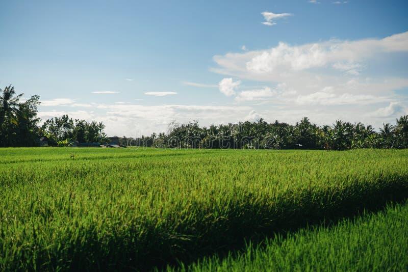 vista escénica del campo con la hierba verde y el cielo nublado azul en ubud, foto de archivo libre de regalías