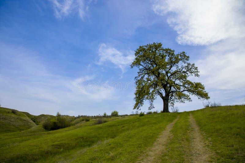Vista escénica del roble solitario en campo verde fotos de archivo